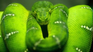 green_snake_coiled_1257